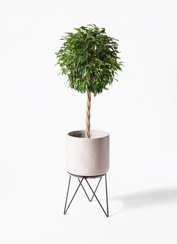 観葉植物 フィカス ベンジャミン 8号 玉造り ビトロ エンデカ 鉢カバースタンド付 クリーム 付き