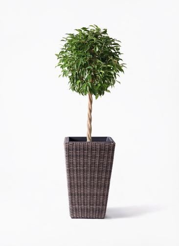 観葉植物 フィカス ベンジャミン 8号 玉造り ウィッカーポット スクエアロング OT 茶 付き