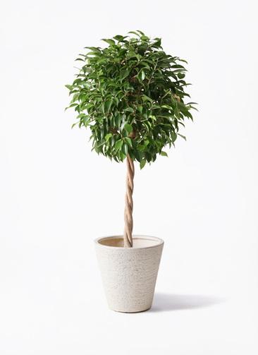 観葉植物 フィカス ベンジャミン 8号 玉造り ビアスソリッド 白 付き