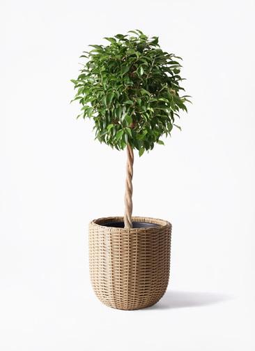 観葉植物 フィカス ベンジャミン 8号 玉造り ウィッカーポットエッグ ベージュ 付き