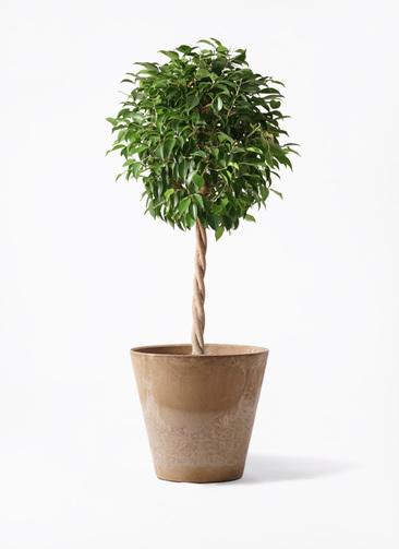 観葉植物 フィカス ベンジャミン 8号 玉造り アートストーン ラウンド ベージュ 付き