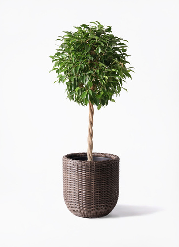 観葉植物 フィカス ベンジャミン 8号 玉造り ウィッカーポットエッグ 茶 付き