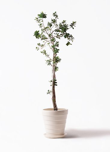 観葉植物 ガジュマル 8号 パンダ サバトリア 白 付き