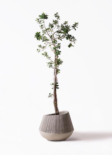 観葉植物 ガジュマル 8号 パンダ エディラウンド グレイ 付き