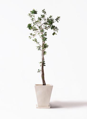 観葉植物 ガジュマル 8号 パンダ スクエアハット 白 付き