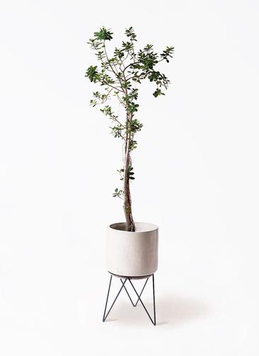 観葉植物 ガジュマル 8号 パンダ ビトロ エンデカ 鉢カバースタンド付 クリーム 付き