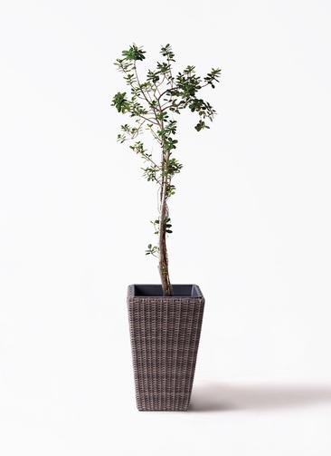 観葉植物 ガジュマル 8号 パンダ ウィッカーポット スクエアロング OT 茶 付き