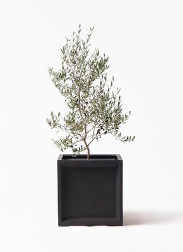 観葉植物 オリーブの木 8号 アルベキーナ ブリティッシュキューブ 付き