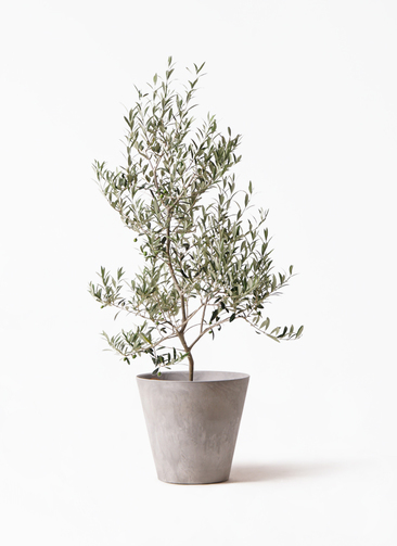 観葉植物 オリーブの木 8号 アルベキーナ アートストーン ラウンド グレー 付き