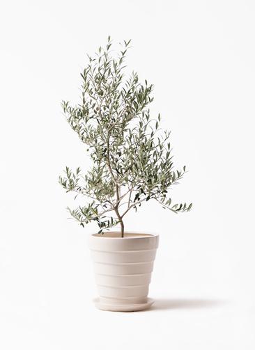 観葉植物 オリーブの木 8号 アルベキーナ サバトリア 白 付き