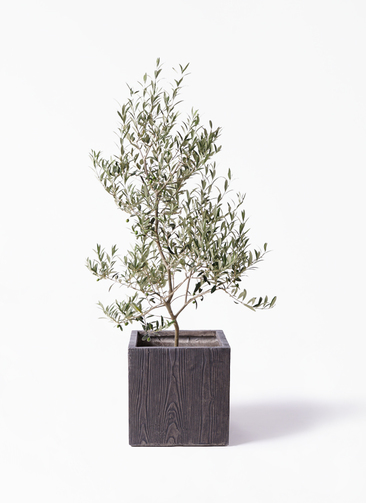 観葉植物 オリーブの木 8号 アルベキーナ ベータ キューブプランター ウッド 茶 付き