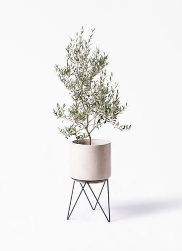 観葉植物 オリーブの木 8号 アルベキーナ ビトロ エンデカ 鉢カバースタンド付 クリーム 付き