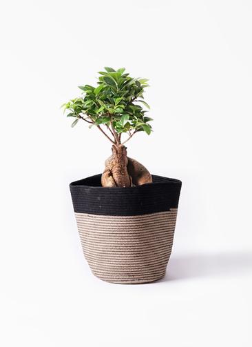観葉植物 ガジュマル 6号 股仕立て リブバスケットNatural and Black 付き