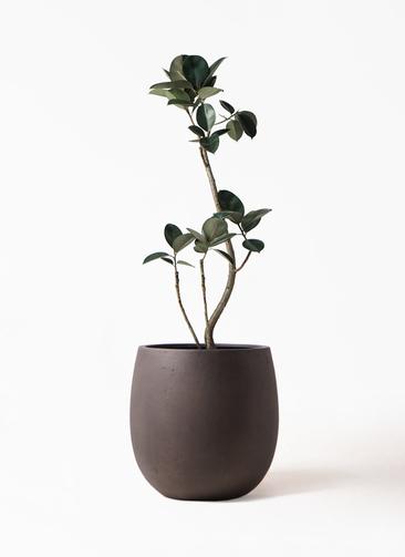 観葉植物 フィカス バーガンディ 8号 テラニアス バルーン アンティークブラウン 付き