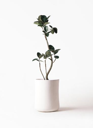 観葉植物 フィカス バーガンディ 8号 バスク ミドル ホワイト 付き