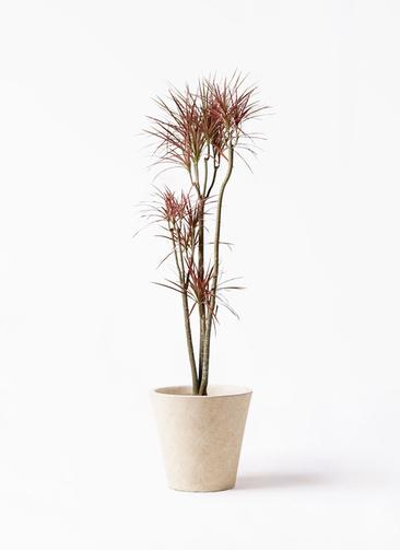 観葉植物 ドラセナ コンシンネ レインボー 8号 ストレート フォリオソリッド クリーム 付き