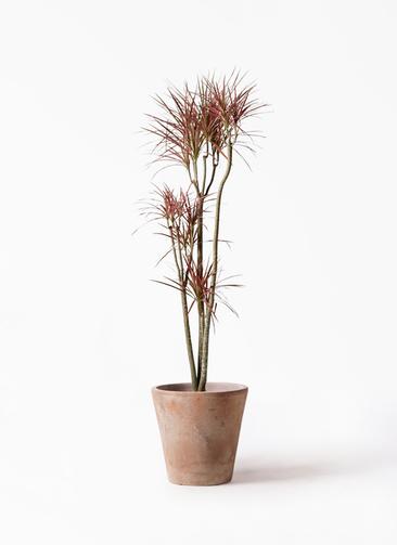 観葉植物 ドラセナ コンシンネ レインボー 8号 ストレート ルーガ アンティコ ソリッド 付き