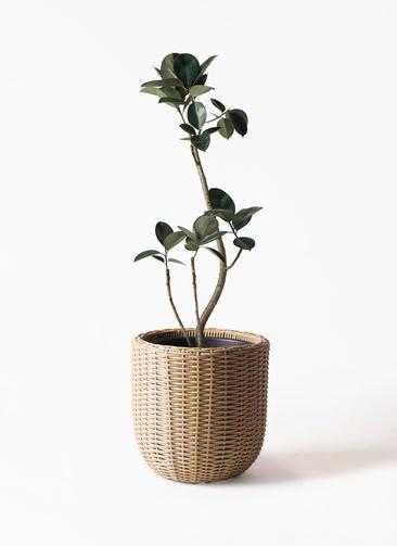 観葉植物 フィカス バーガンディ 8号 曲り ウィッカーポットエッグ 茶 付き