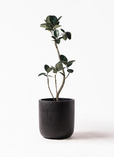 観葉植物 フィカス バーガンディ 8号 エルバ 黒 付き
