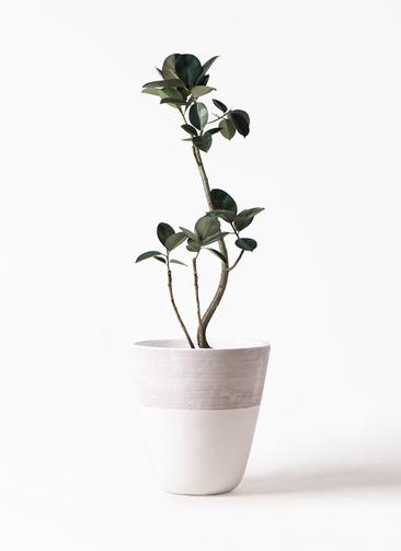観葉植物 フィカス バーガンディ 8号 ジュピター 白 付き