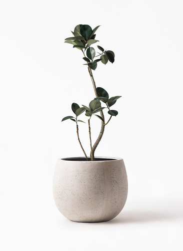 観葉植物 フィカス バーガンディ 8号 テラニアス ローバルーン アンティークホワイト 付き