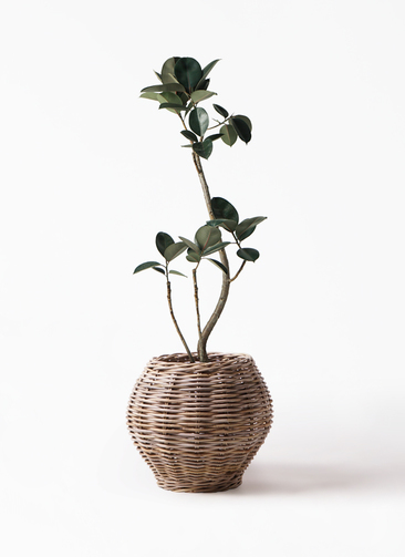 観葉植物 フィカス バーガンディ 8号 グレイラタン 付き