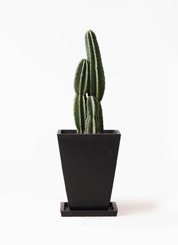 観葉植物 柱サボテン 8号 パウダーストーン 黒 付き