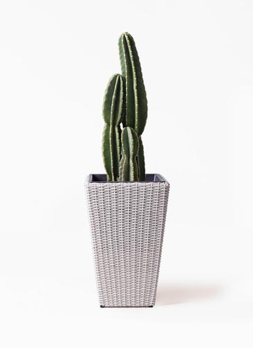 観葉植物 柱サボテン 8号 ウィッカーポット スクエアロング OT 白 付き