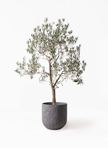 観葉植物 オリーブの木 10号 ピッチョリーネ カルディナダークグレイ 付き