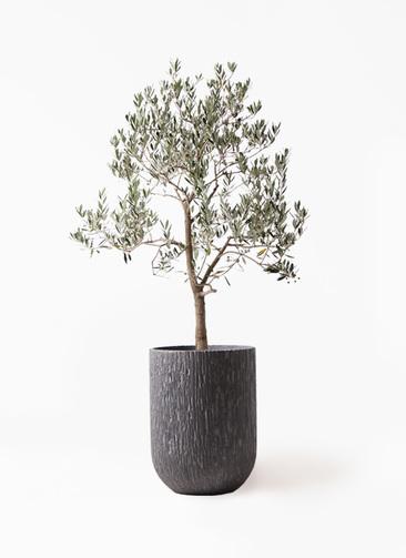 観葉植物 オリーブの木 10号 ピッチョリーネ カルディナトールダークグレイ 付き