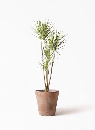 観葉植物 コンシンネ ホワイポリー 8号 ストレート ルーガ アンティコ ソリッド 付き