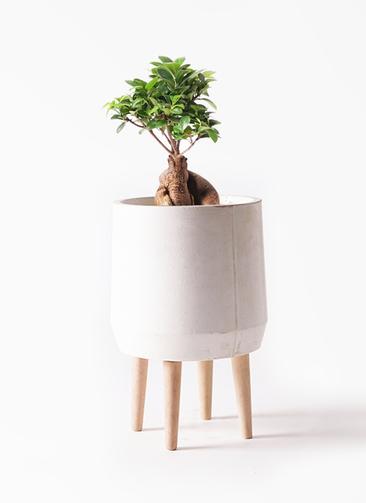 観葉植物 ガジュマル 6号 股仕立て ファイバークレイ white 付き