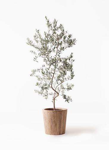 観葉植物 オリーブの木 10号 ペンドリノ ウッドプランター 付き