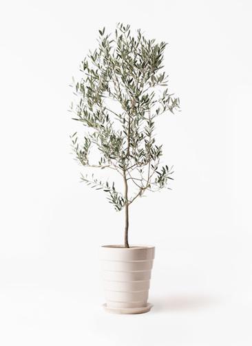 観葉植物 オリーブの木 10号 ミッション サバトリア 白 付き
