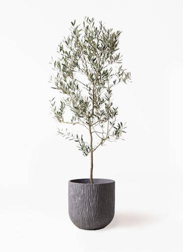 観葉植物 オリーブの木 10号 ミッション カルディナダークグレイ 付き