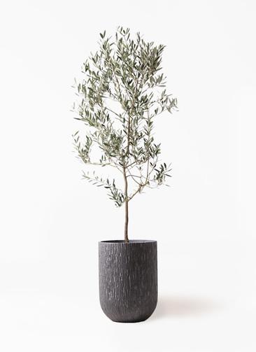 観葉植物 オリーブの木 10号 ミッション カルディナトールダークグレイ 付き