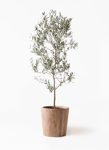 観葉植物 オリーブの木 10号 ミッション ウッドプランター 付き