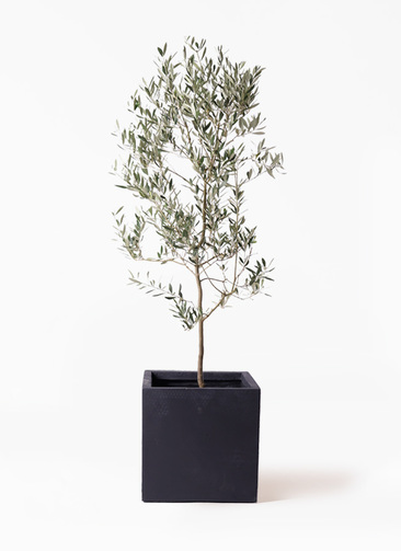 観葉植物 オリーブの木 10号 ミッション ベータ キューブプランター 黒 付き