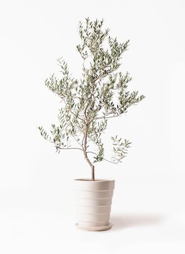 観葉植物 オリーブの木 10号 レッチーノ サバトリア 白 付き