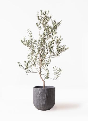 観葉植物 オリーブの木 10号 レッチーノ カルディナダークグレイ 付き