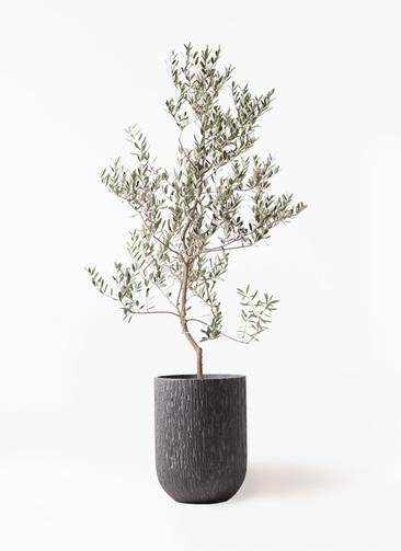 観葉植物 オリーブの木 10号 レッチーノ カルディナトールダークグレイ 付き