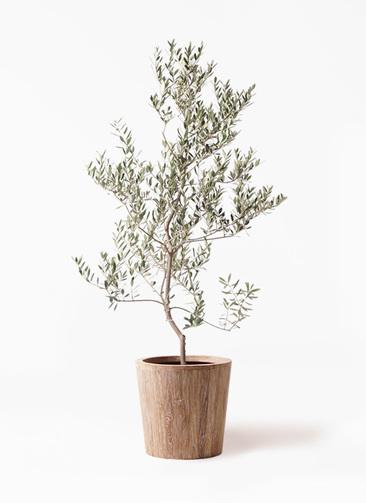 観葉植物 オリーブの木 10号 レッチーノ ウッドプランター 付き