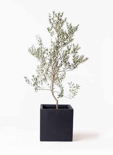 観葉植物 オリーブの木 10号 レッチーノ ベータ キューブプランター 黒 付き
