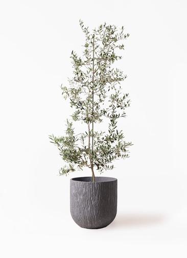 観葉植物 オリーブの木 10号 アルベキーナ カルディナダークグレイ 付き