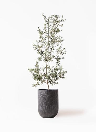 観葉植物 オリーブの木 10号 アルベキーナ カルディナトールダークグレイ 付き