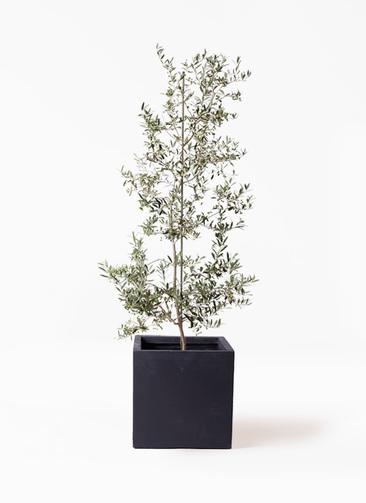 観葉植物 オリーブの木 10号 アルベキーナ ベータ キューブプランター 黒 付き