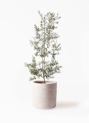 観葉植物 オリーブの木 10号 アルベキーナ サンディ シリンダー 白 付き