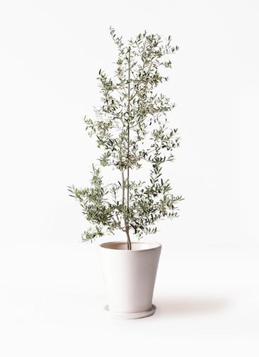 観葉植物 オリーブの木 10号 アルベキーナ サブリナ 白 付き