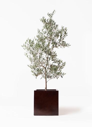 観葉植物 オリーブの木 10号 ピクアル MOKU キューブ 付き