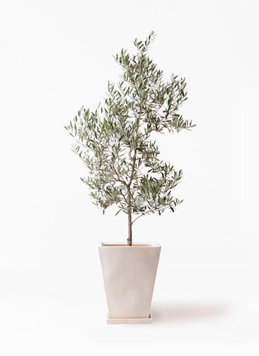観葉植物 オリーブの木 10号 ピクアル スクエアハット 白 付き